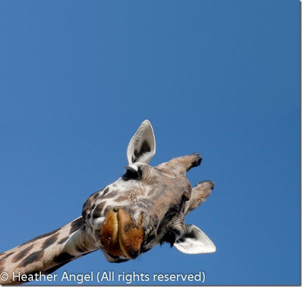 Rothschild giraffe head, composition, Breaking the rules, photography, Bulls eye, Horizon,