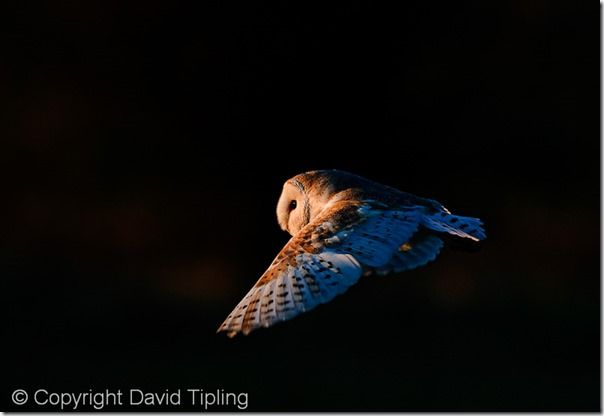 Barn Owl tyto alba hunting North Norfolk January, Shutter Speed, fast Shutter speed, freezing action, Hand held, Camera Shake, Panning,