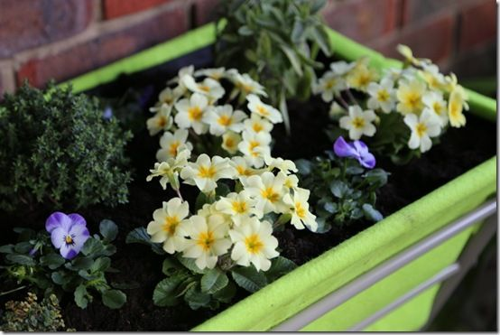 primroses, violas and herbs