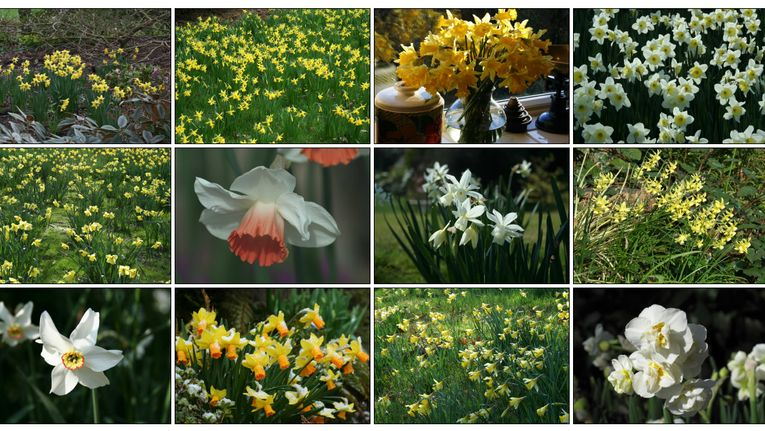 10 Daffodil For Successional Flowering