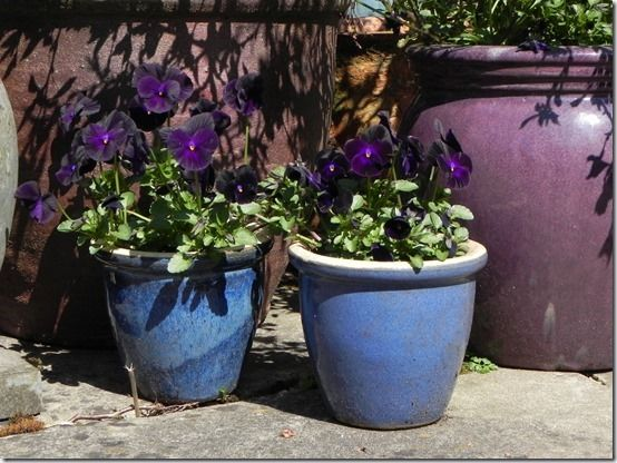 11Tiny pots with violas