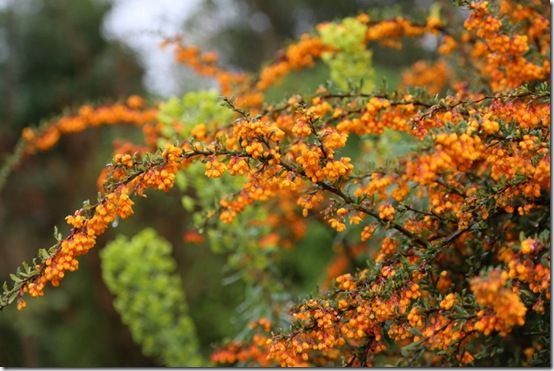 Berberis stenophylla 'Etna'
