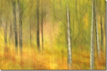 silver birches in autumn - panned