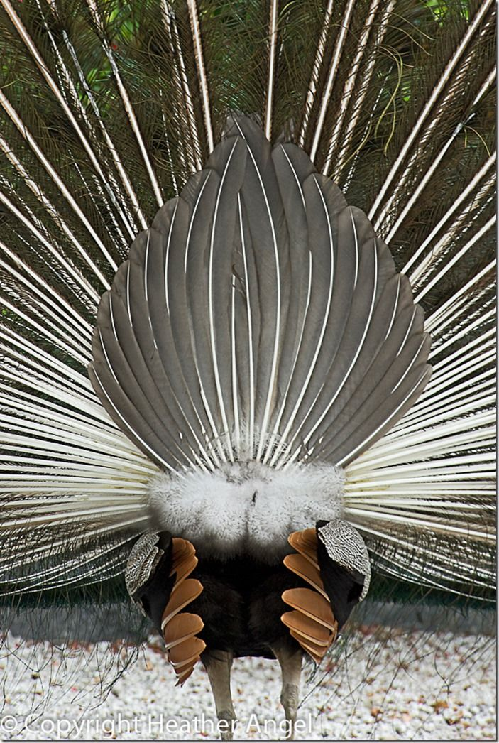 Rear view of erect peacock tail