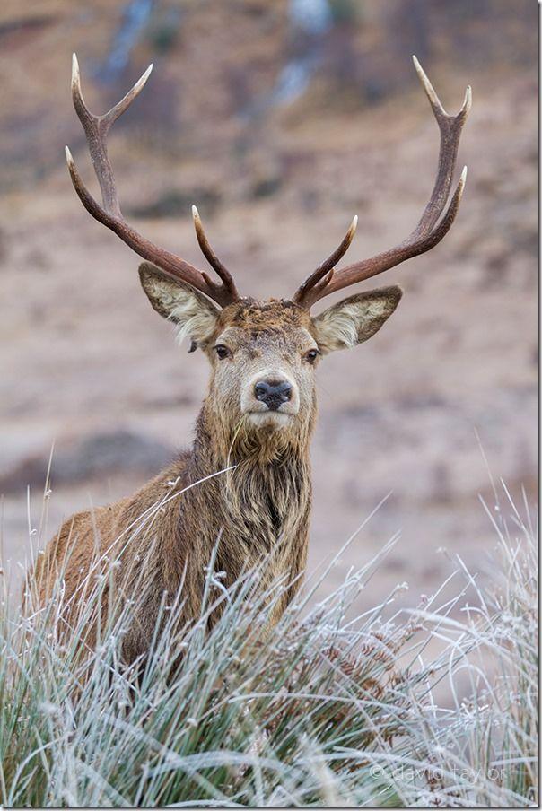 Fully grown Red Deer stag in Glen Etive in the Scottish Highlands, Scotland, Autofocus, Phase detection, AF point selection, Contrast detection, AF-S, One Shot mode, AI Servo, AF-C, predictive focus, Live View