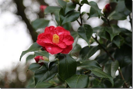 Camellia japonica 'Adolph Audusson'