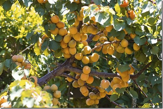 moorpark-apricot-tree, Fruit Tree Specification & Rootstocks Guide