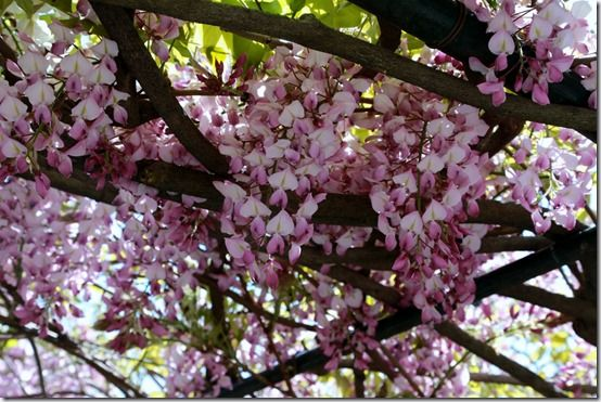7 Pink wisteria