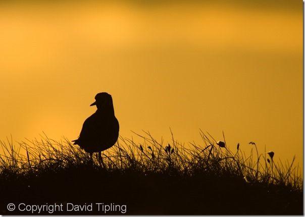 Golden Plover Pluvialis apricaria Shetland spring