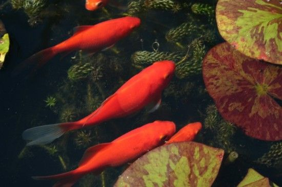 3 Goldfish (800x533)