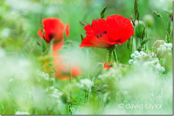 Field of poppies and cow parsley near Bambrugh, Northumberland, England, Restricting depth of field, depth of field, DOF, small depth of field, free monthly photography competition, Online Photography Courses, focusing