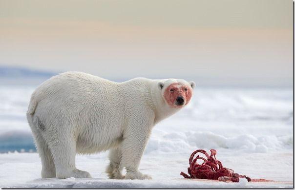 Polar bear - Joshua Holko