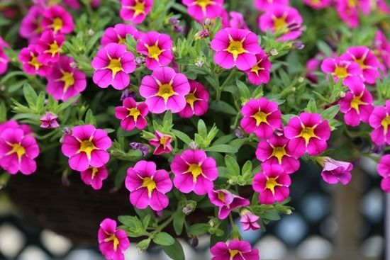 10 Calibrachoa Starlight Pink