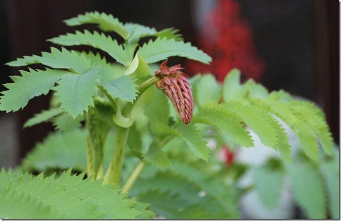 10 Melianthus major