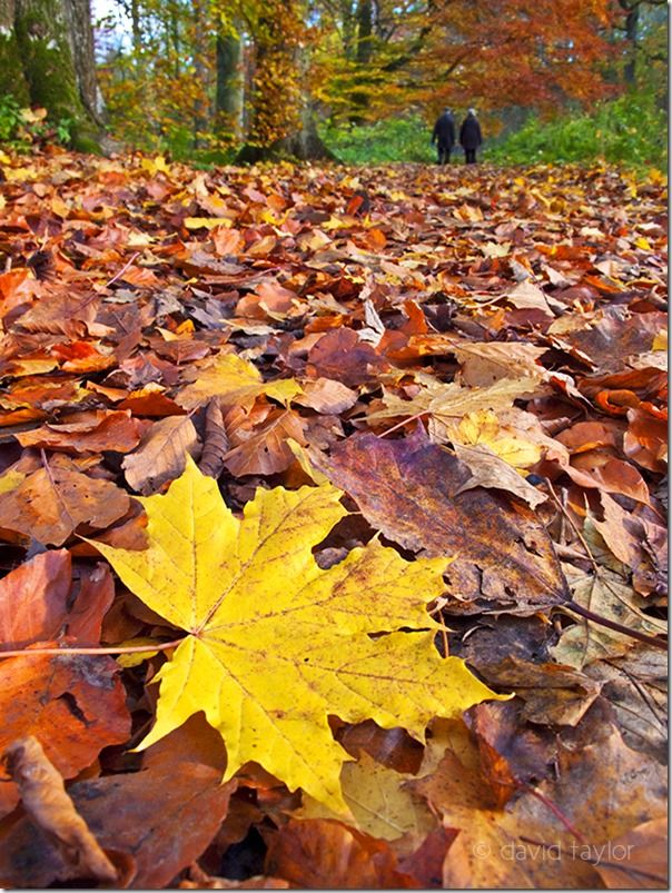Sycamore leaf lying on the ground in autumn in the the grounds of Wallington, Northumberland, England