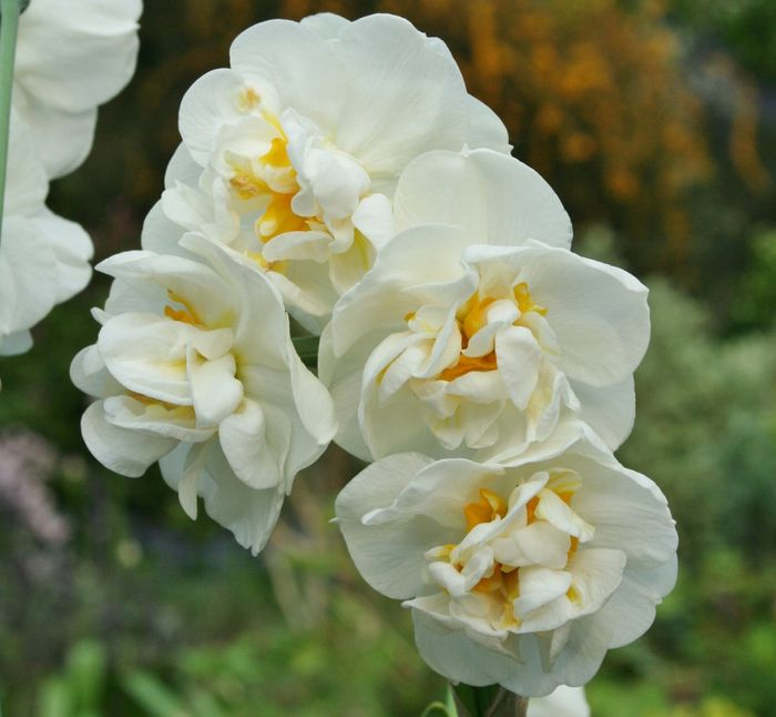 Narcissus 'Bridal Crown'