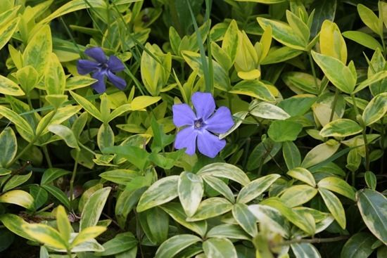 Vinca minor 'Aureovariegata' (1024x683)