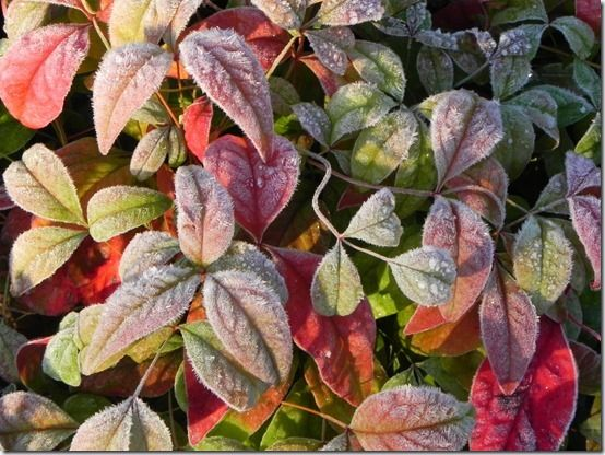 4 Nandina 'firepower'  ) Shrubs For Winter Interest