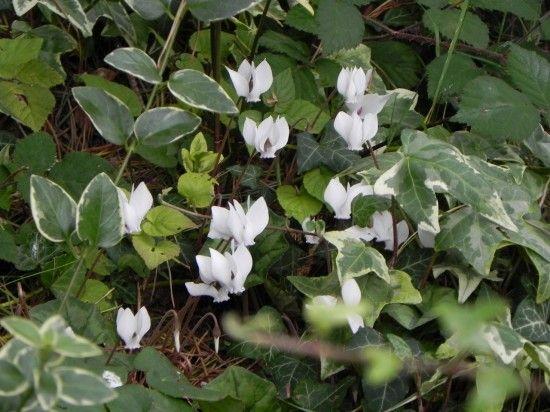 Cyclamen hererefolium and ivy