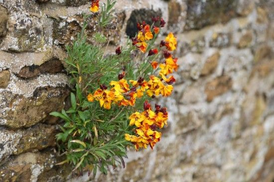 Wallflowers where they grow best