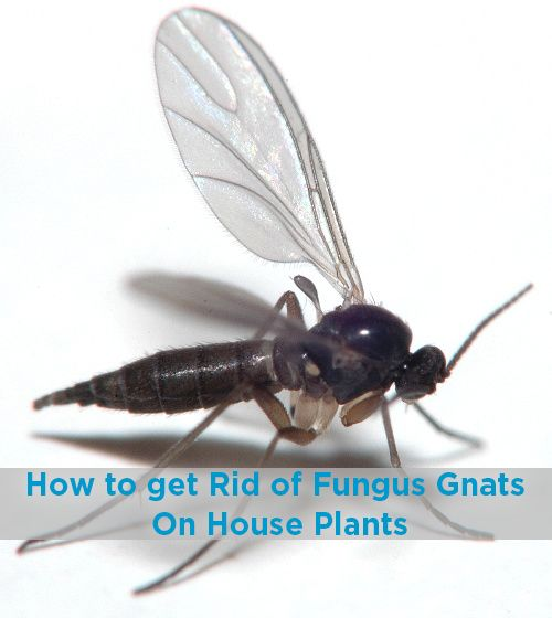 How To Control Fungus Gnats On House Plants - Gardening - Learning