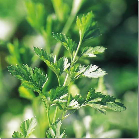 174522_Parsley_Plain_Leaved_2_exp