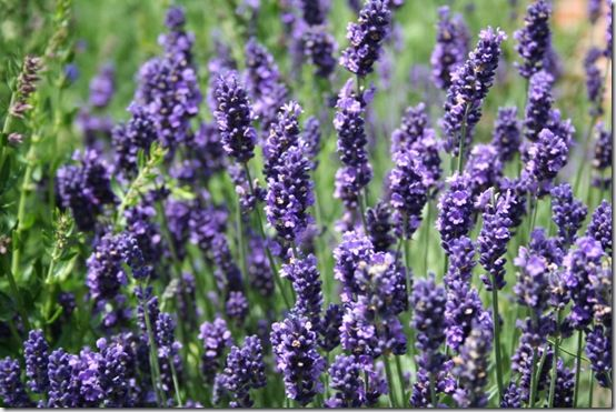 Lavandula angustifolia Close Up