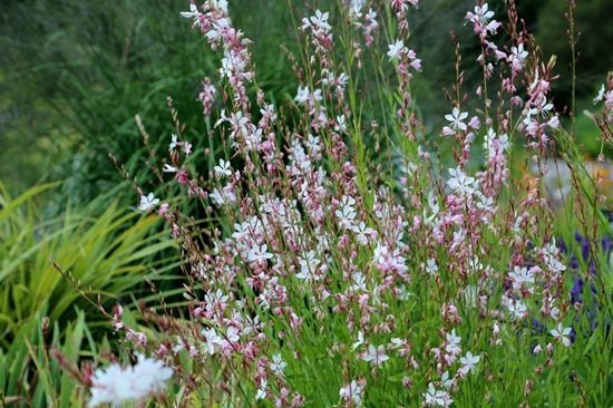 6 Gaura lindheimeri 'The Bride'