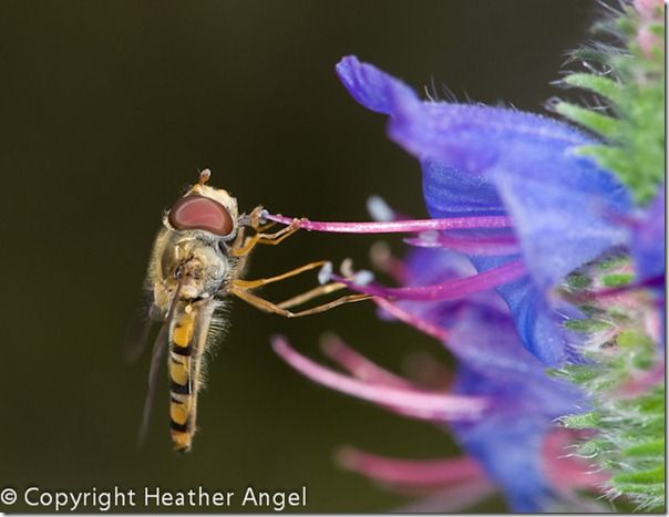 Hoverfly feeding on pollen on viper's bugloss