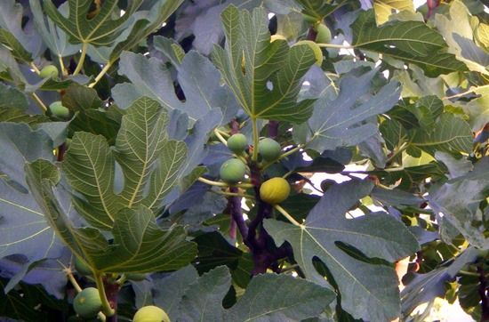 Figs, How To Grow Soft Fruit