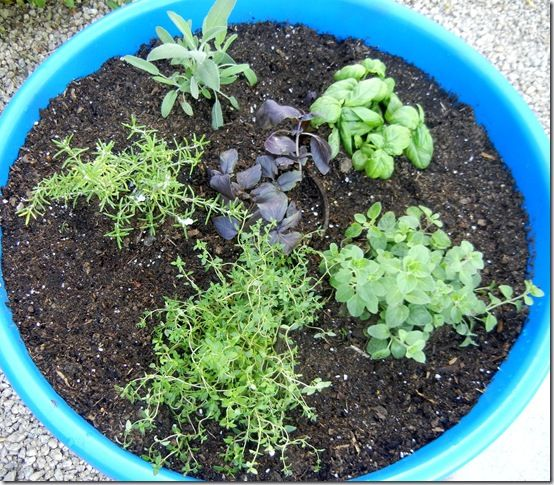 Newly-planted herbs