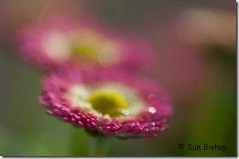 daisies focus front
