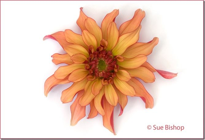 Fine Art Flower Photography, Flower Photography, Plower Photography Tips,