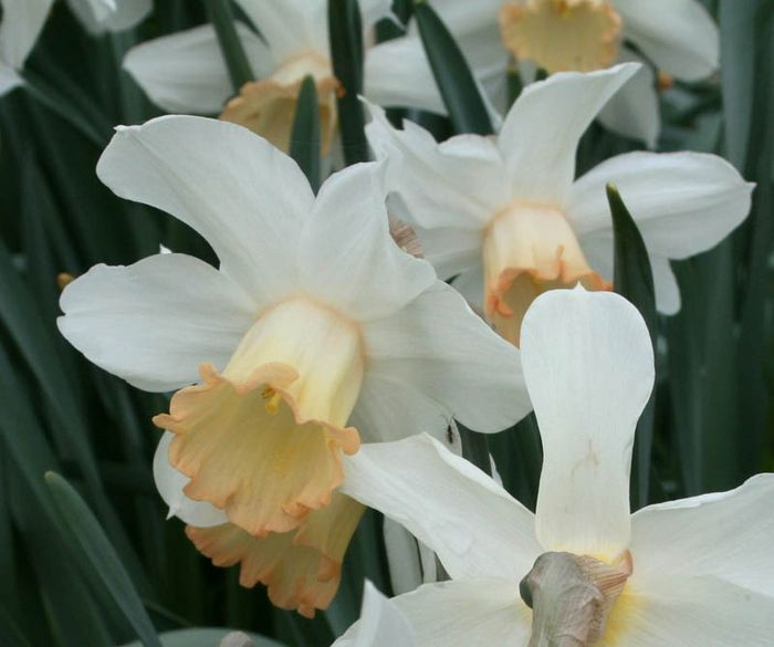 Narcissus 'Mrs. Backhouse'