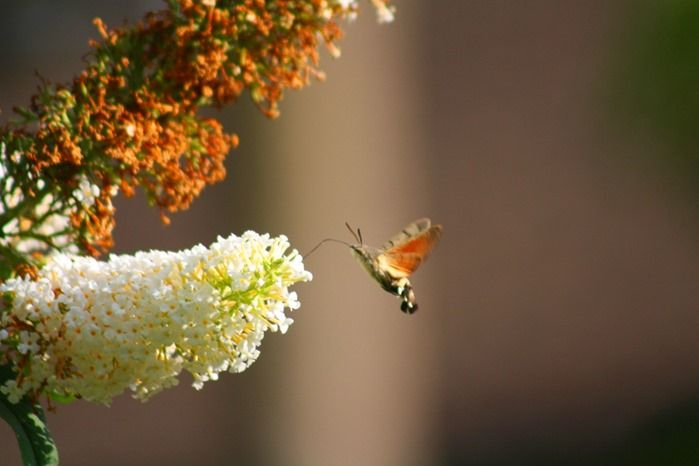 Hummingbird Hawk Moth, Erce