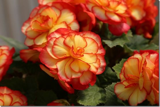 Begonia 'Glowing Embers
