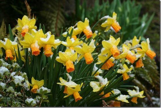 7 Narcissus 'Jetfire'
