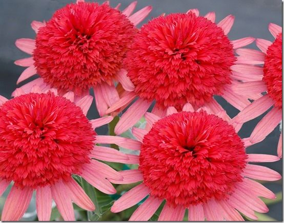 Echinacea_Secret Passion
