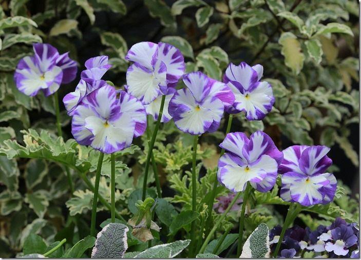 7 Perennial viola (1024x738)