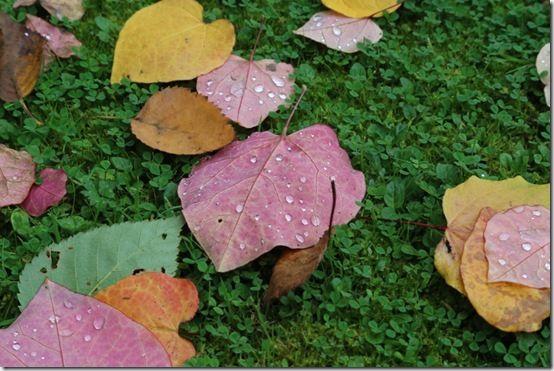 Cercis leaves