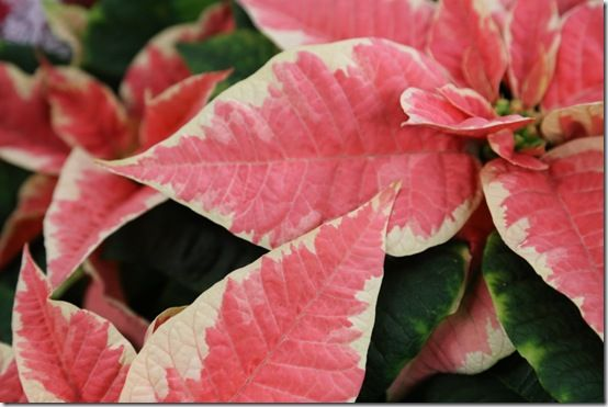 Marbled poinsettia