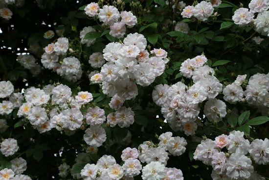 2 Rosa 'Paul's Himalayan Musk'