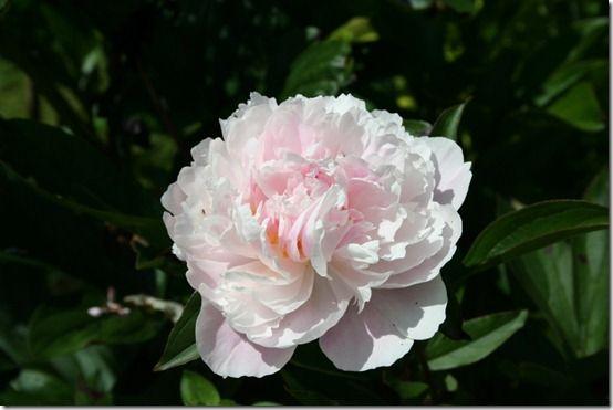 Paeonia 'Sarah Bernhardt' 2