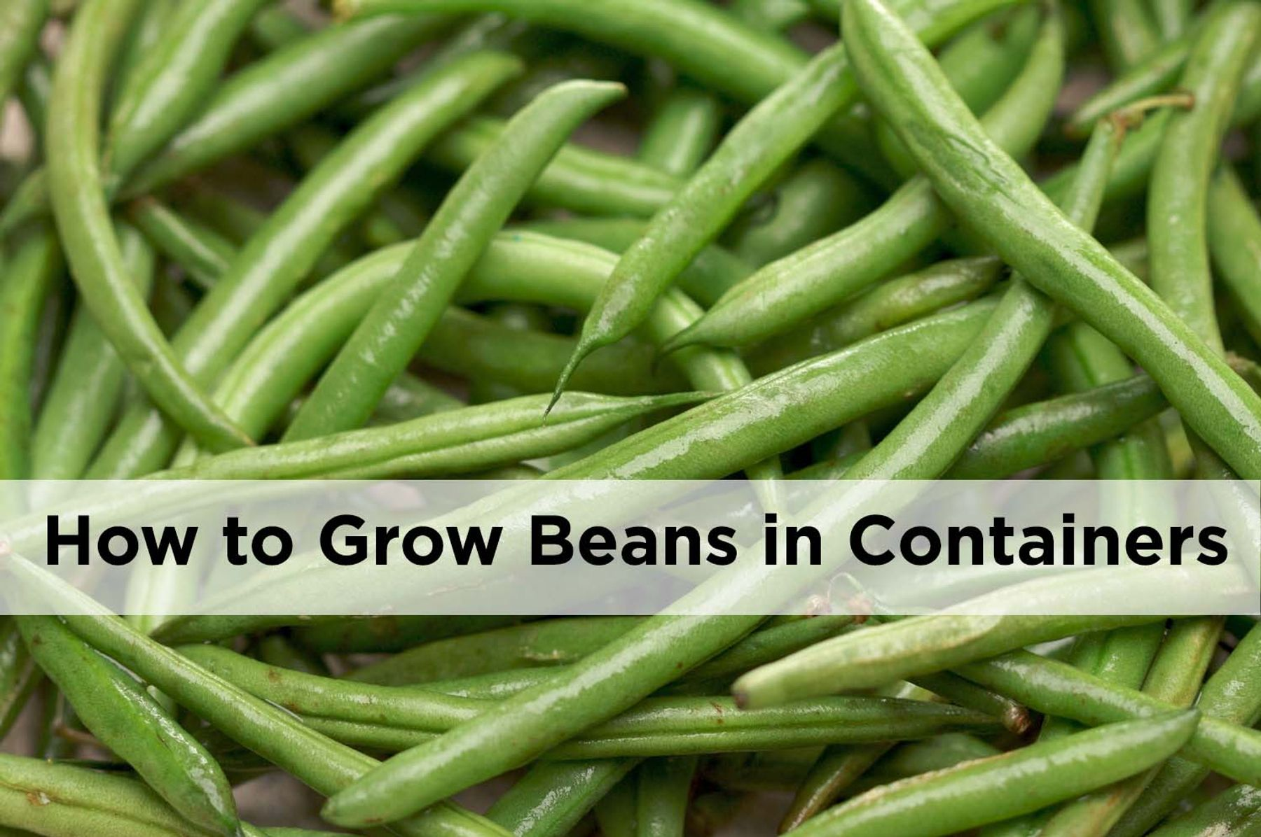 Growing bush beans in containers - How To Grow Beans In Pots And Containers