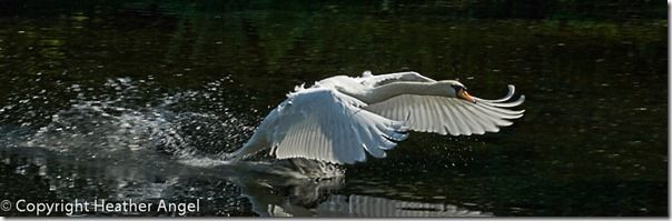 Mute swan charging down the Lake at Kew