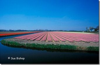 hyacinth field - wide angle