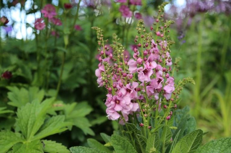Verbascum 'Jackie in the Pink'