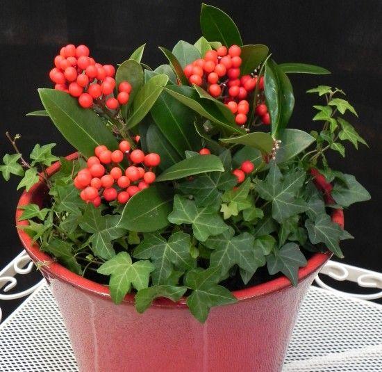 7 Skimmia japonica 'Temptation'