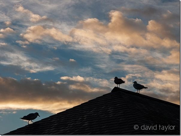 Sea gulls on a roof in Whitby, silhouetted against an evening sky, Yorkshire, England
