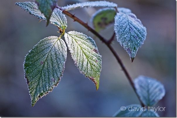 Bramble leaves covered in hoar frost after a freezing winter's night, Northumberland, England